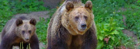 ursul-–-zeu-sau-demon?-–-traditii-si-credinte-despre-mos-martin-la-noi-si-in-restul-europei